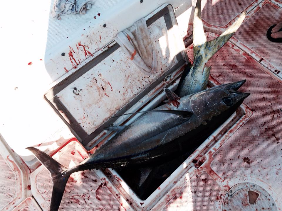 Yellowfin Tuna Offshore Canyons