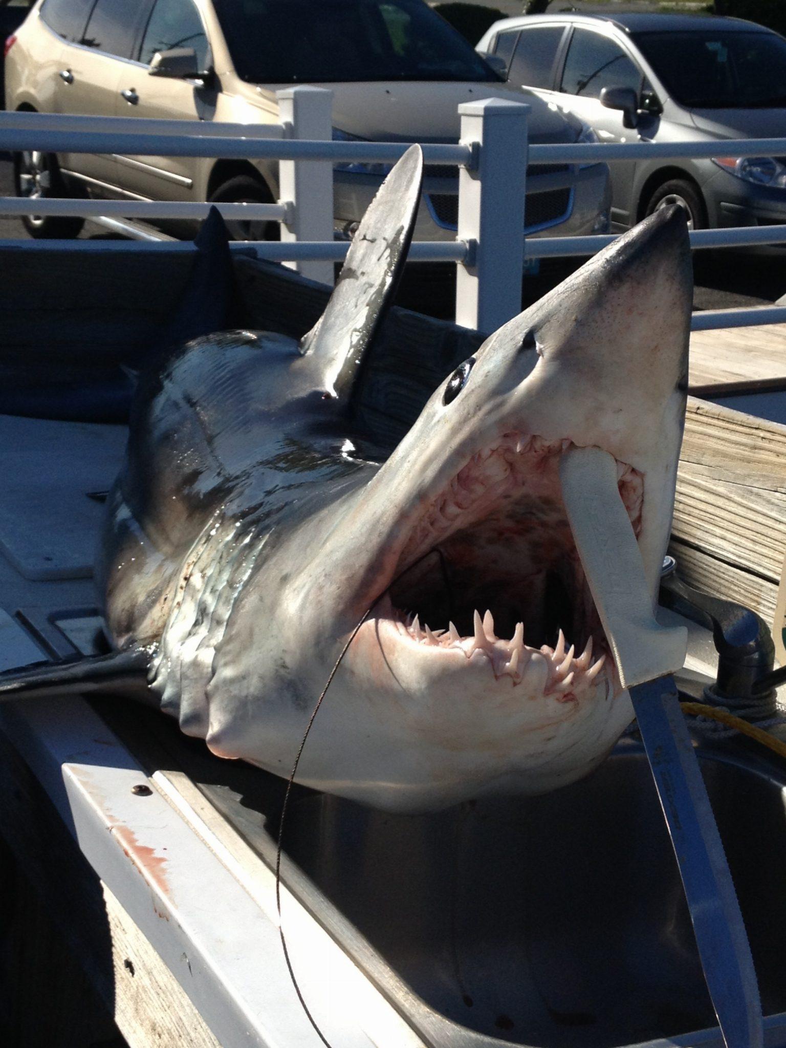 Shark fishing ocean city, nj