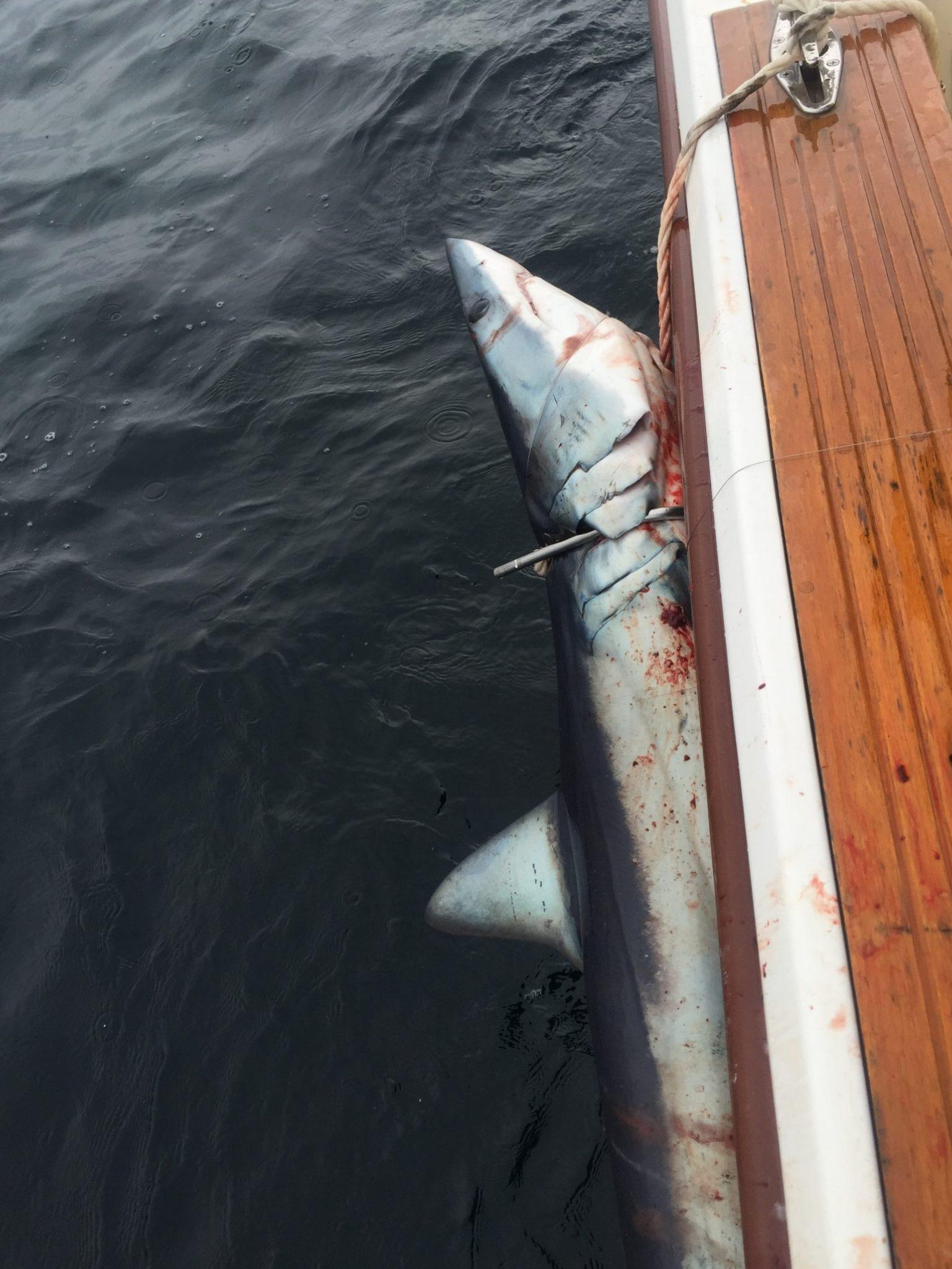 Mako Shark Fishing Ocean City NJ