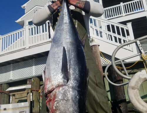 Early Summer Bluefin Tuna
